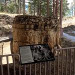 Petrified Redwood Stump